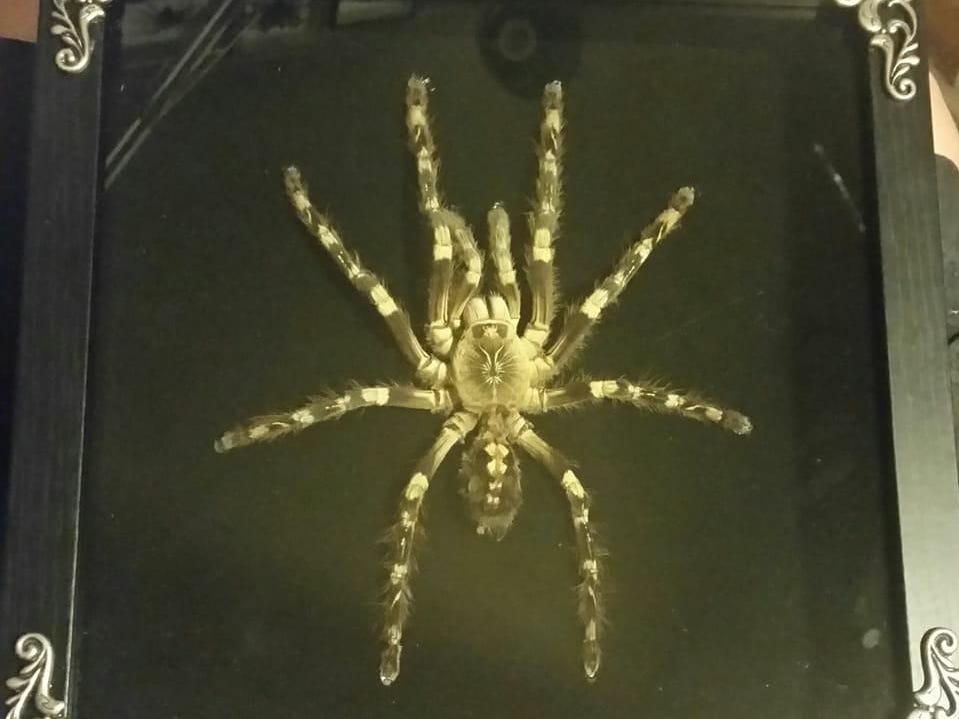 Ribera said he got his first framed tarantula from his father, a merchant mariner, when he was 13.