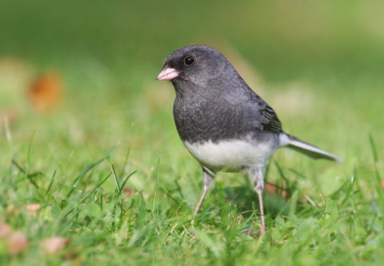 Unlike most birds that migrate south, dark-eyed juncos seldom fly farther than Wisconsin, Minnesota and New York after spending their summers in Canada.