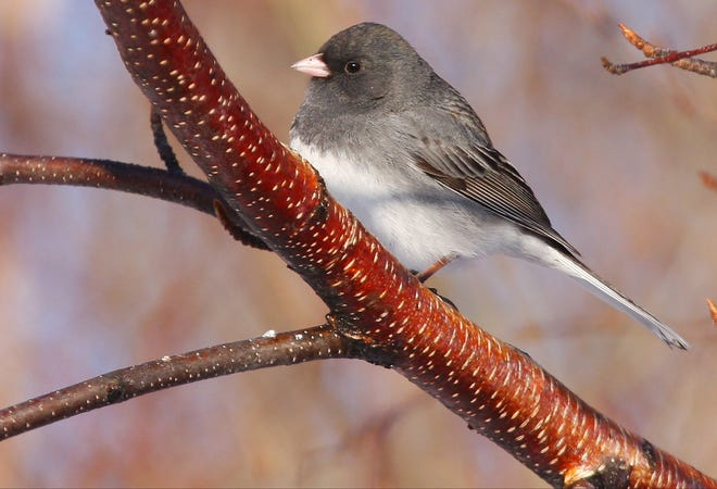 Dark-eye juncos spend half the year in Wisconsin, usually arriving in mid-October and staying through mid- to late April.