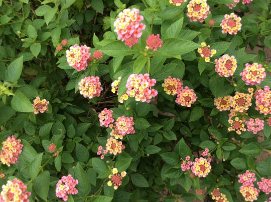 Lantana may be invasive, but also beautiful