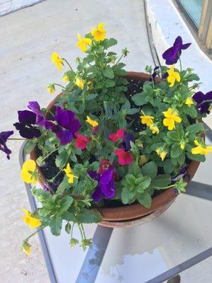 A pot of pansies