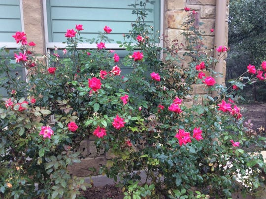 Knockout roses live up to their billing