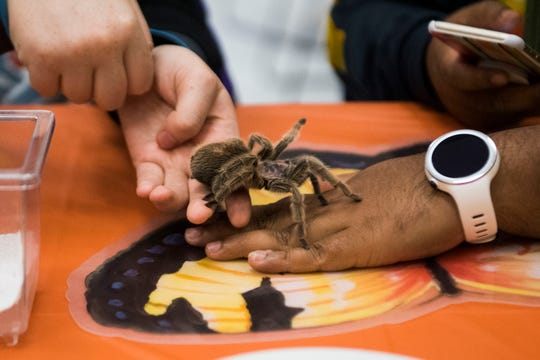 "Tarantula ""Itsy"" crawls from its owner Summer Cavis' hand to Ehit Haque's at University of Tennessee's Institute for Agriculture's Buggy Buffet."