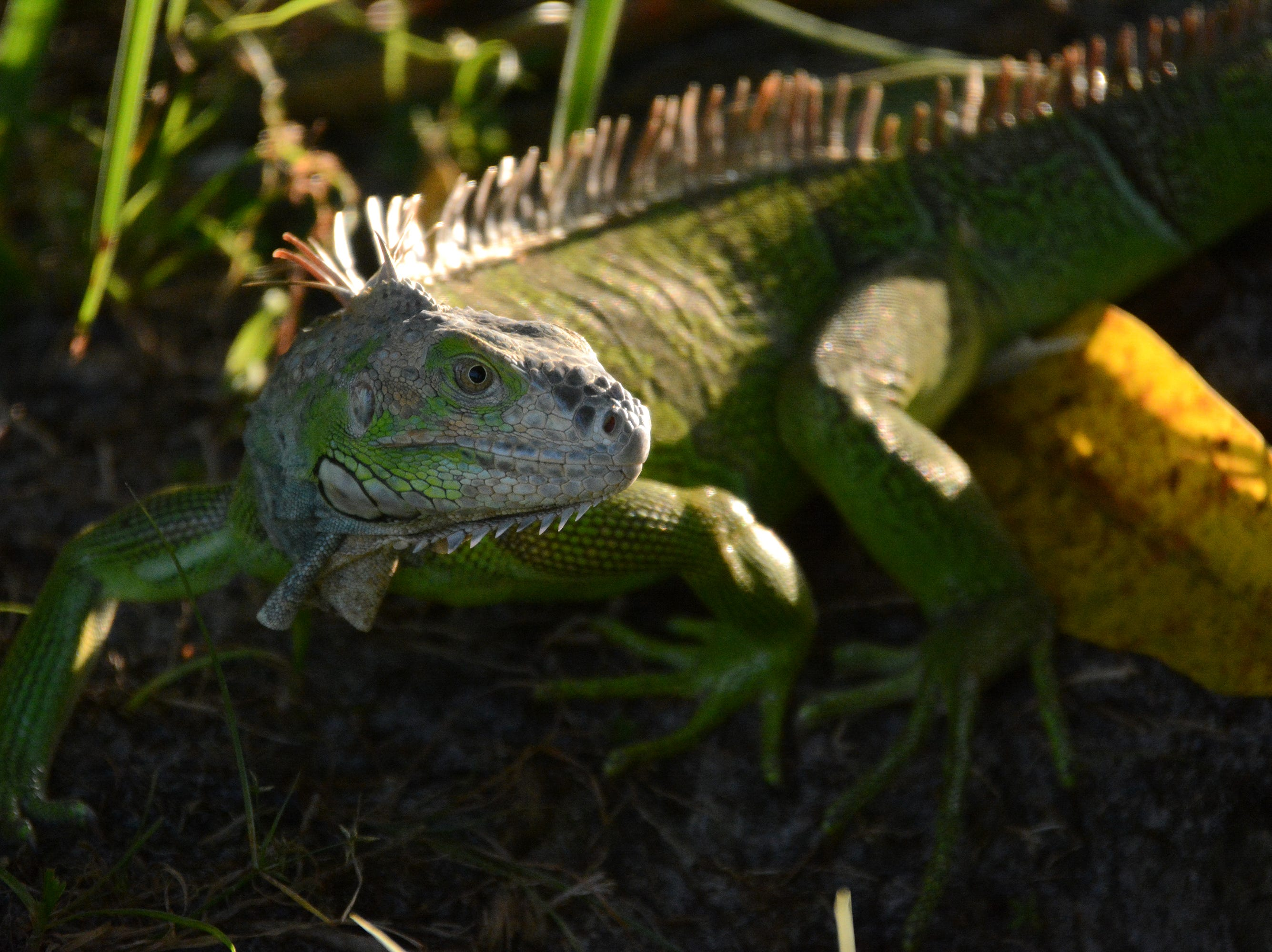 A green iguana faces down an intruder at Marco Lake. The City of Marco Island hosted a presentation on invasive iguanas conducted by the Florida Fish and Wildlife Conservation Commission on Wednesday evening in the Biles Community Room.