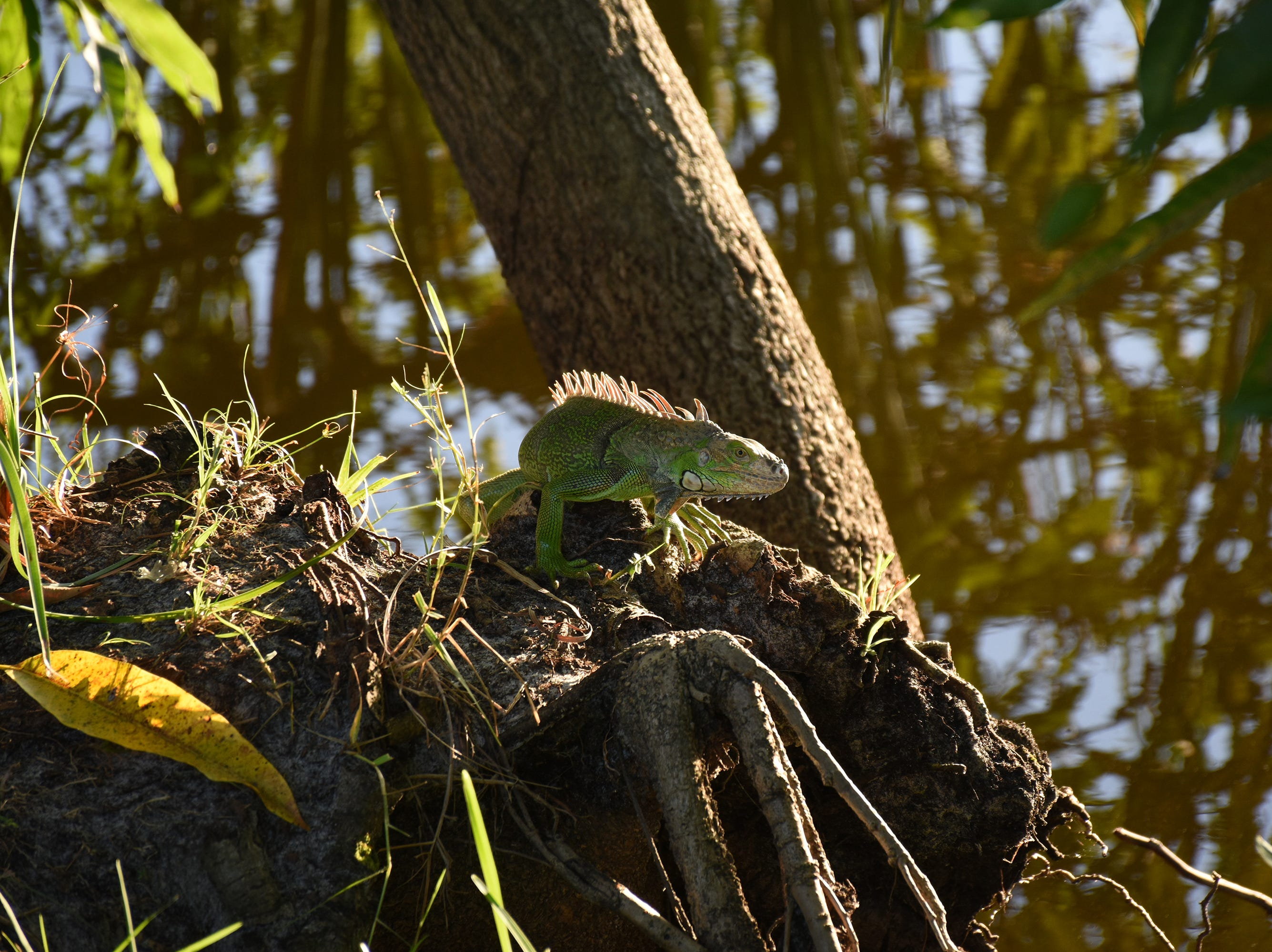 A green iguana perches by the edge of a freshwater lake. The City of Marco Island hosted a presentation on invasive iguanas conducted by the Florida Fish and Wildlife Conservation Commission on Wednesday evening in the Biles Community Room.