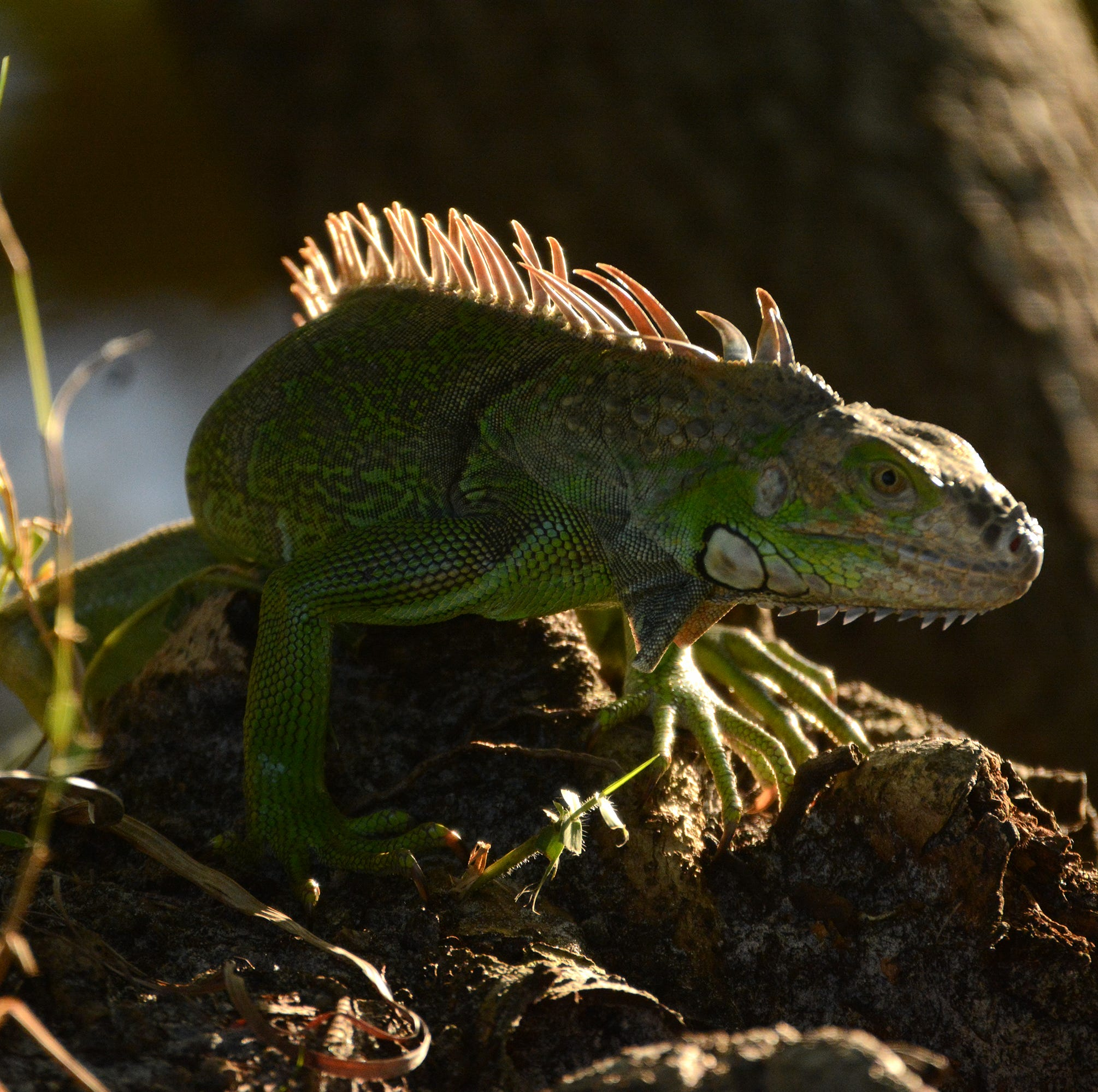 Marco Island City Council approves additional funding for iguana removal