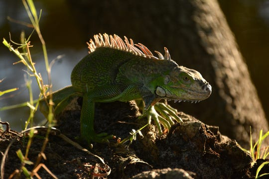 A green iguana basks in the late afternoon sun at Marco Lake. The City of Marco Island hosted a presentation on invasive iguanas conducted by the Florida Fish and Wildlife Conservation Commission on Wednesday evening in the Biles Community Room.