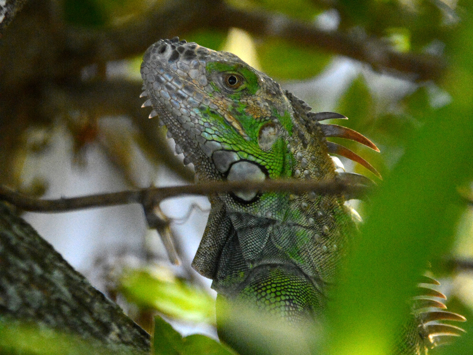 A green iguana perches in a tree at Marco Lake. The City of Marco Island hosted a presentation on invasive iguanas conducted by the Florida Fish and Wildlife Conservation Commission on Wednesday evening in the Biles Community Room.