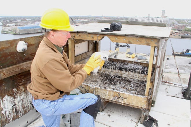 Greg Septon returns a young peregrine falcon to its nest box on the roof of a Veolia North America building in Milwaukee, Wisconsin. The bird and three other nestlings were banded as part of the Wisconsin Peregrine Falcon Recovery Project led since 1986 by Septon.