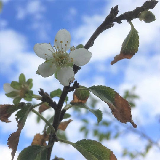 Plum tree blooming in mid-October in Truth or Consequences