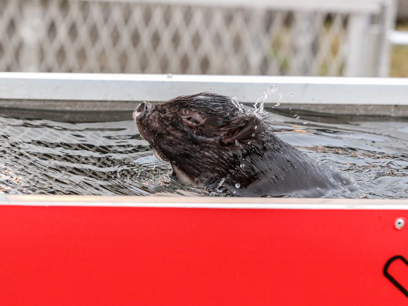A little pig goes swimming for an Oreo cookie prize in the Swifty Swine pig races during the 84th annual Pensacola Interstate Fair on Monday, October 22, 2018.