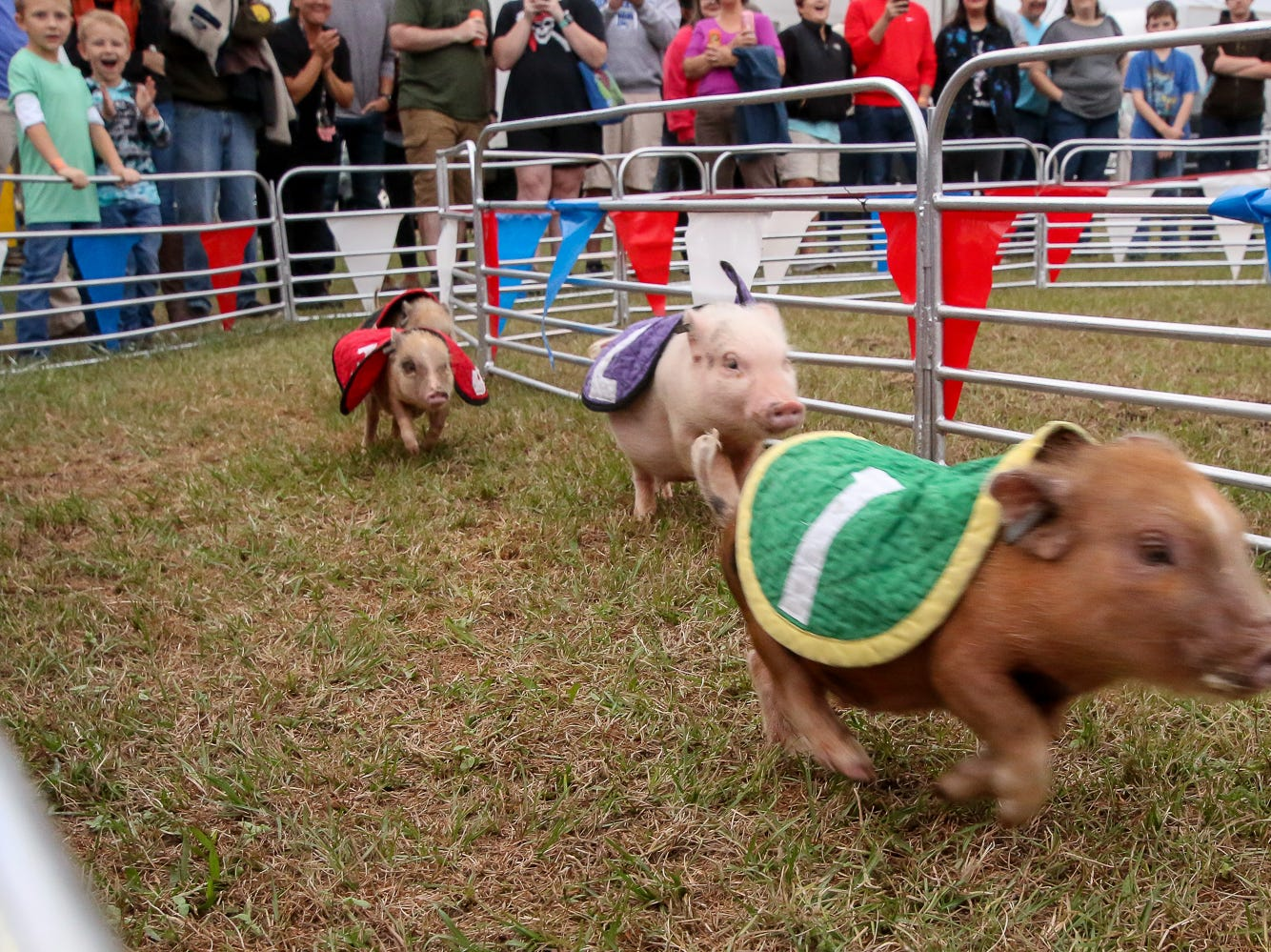 Little pigs sprint to the finish line for an Oreo cookie prize in the Swifty Swine pig races during the 84th annual Pensacola Interstate Fair on Monday, October 22, 2018.