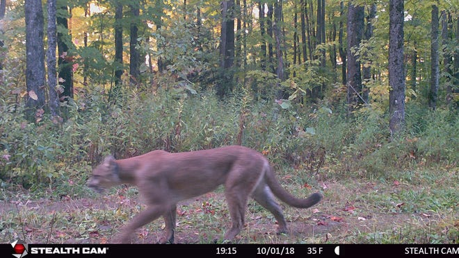 This mountain lion was caught on a Michigan Department of Natural Resources game camera Oct. 1 in Gogebic County.