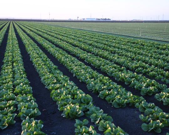 Salinas Valley fields