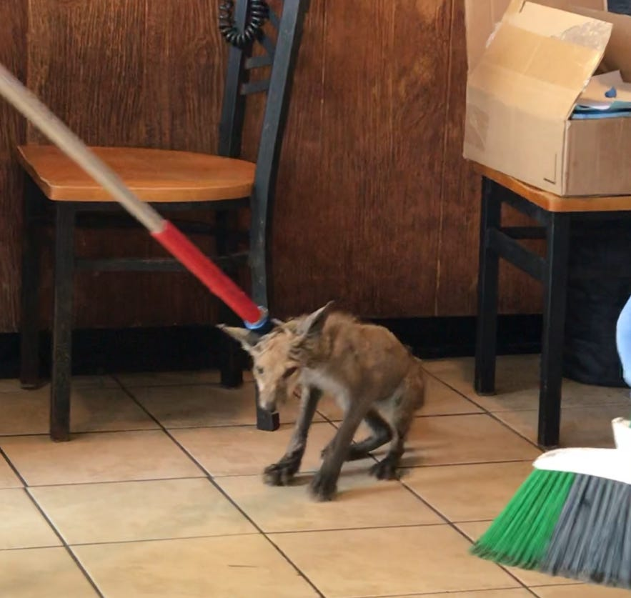 A wild fox was seen at Grotto Pizza on  the Rehoboth boardwalk  on Oct. 20.