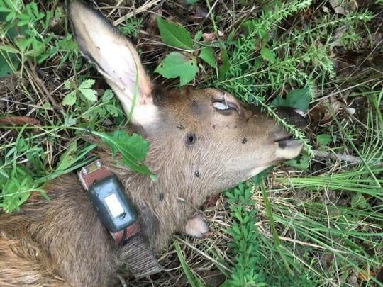 This baby elk was killed in December when someone shot it in the head. It was still wearing its radio tracking collar.