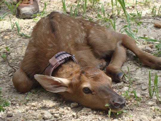 Baby elk have spots, much like baby whitetail deer.