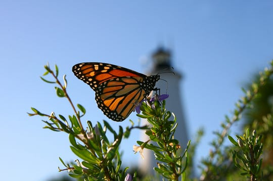 Migrate down to the St. Marks National Wildlife Refuge Saturday for the annual Monarch Butterfly Festival.