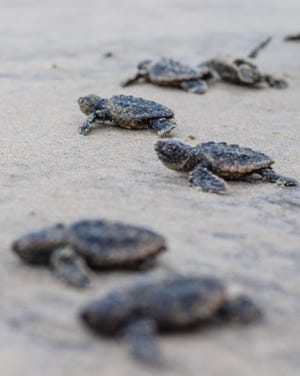 Loggerhead sea turtles recently hatched at Fenwick Island State Park.