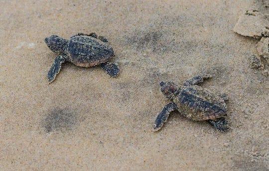 Hatchling loggerhead sea turtles on the beach at Fenwick Island State Park.