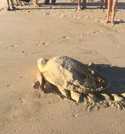 Beachgoers saw this loggerhead sea turtle lay eggs on Fenwick Island in July. It was missing a rear flipper.