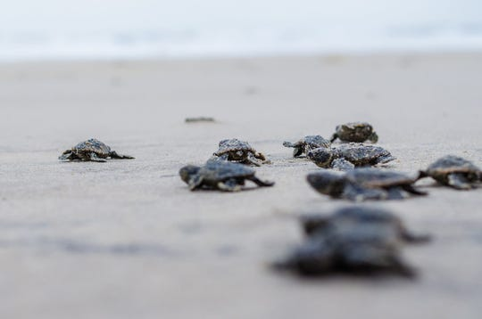 Some of the 48 loggerhead sea turtles that recently hatched at Fenwick Island State Park.