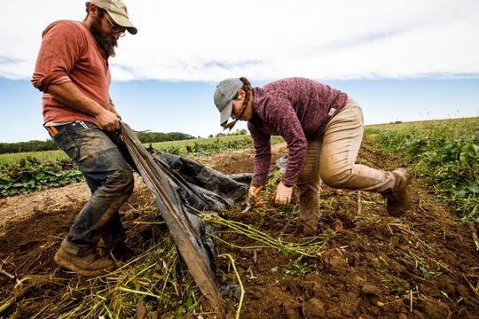 At PrairiErth Farm outside of downstate Atlanta, Ill., greenhouse manager Dylan Grose, left, and crew person Becky Creekmore remove plastic mulch  so they can dig up some sweet potatoes Thursday, Sept. 27, 2018. Organic farmers in Illinois are adapting their business practices due to a shift in the local market prompted in part by large grocers offering organic produce and meal-kit startups gaining popularity.(Chris Walker/Chicago Tribune via AP)