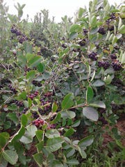 Aronia berries are very high in antioxidants, three times more beneficial than blueberries.