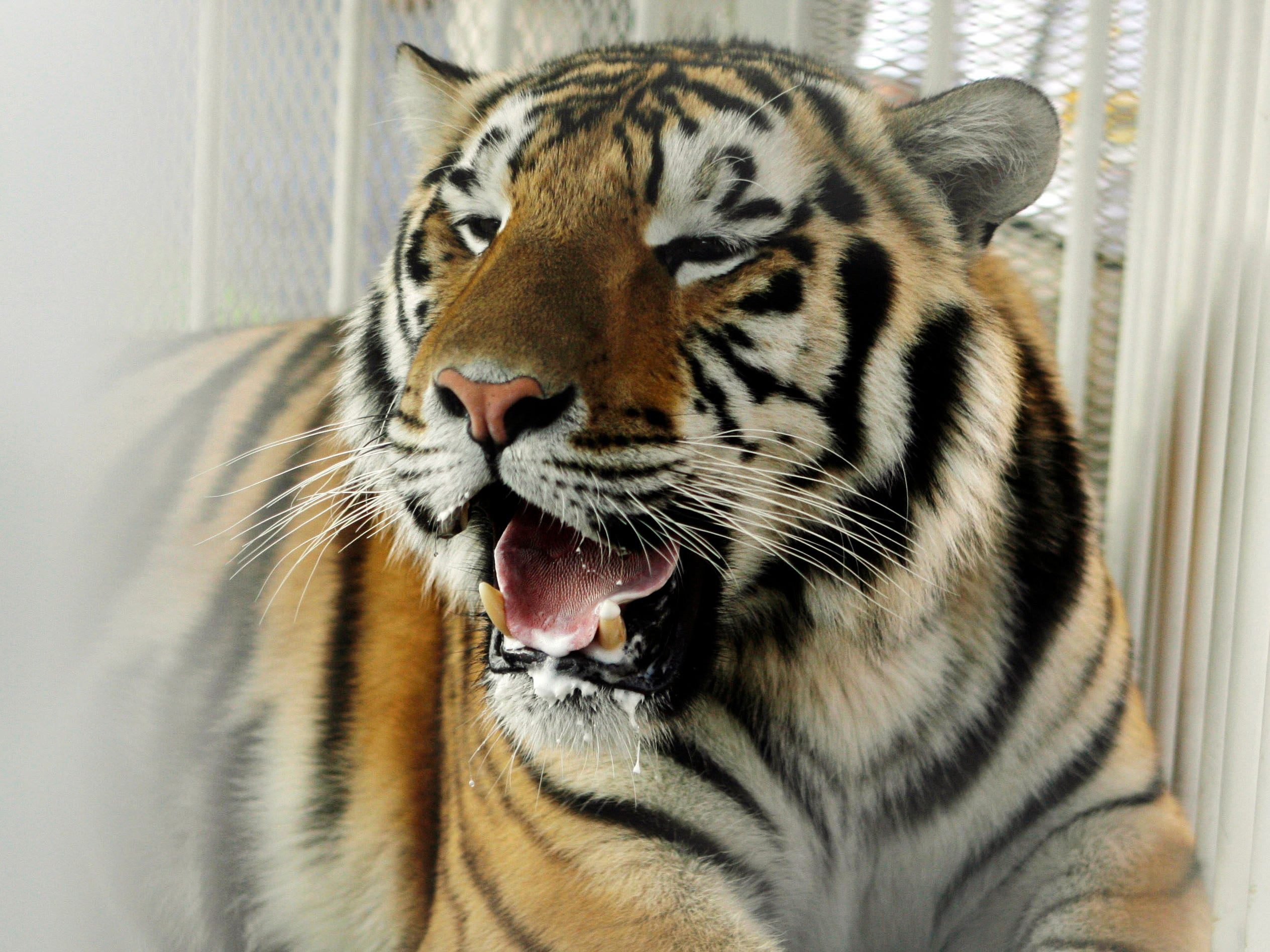 LSU mascot Mike the Tiger. Seriously, is there anything more frightening than a live tiger?