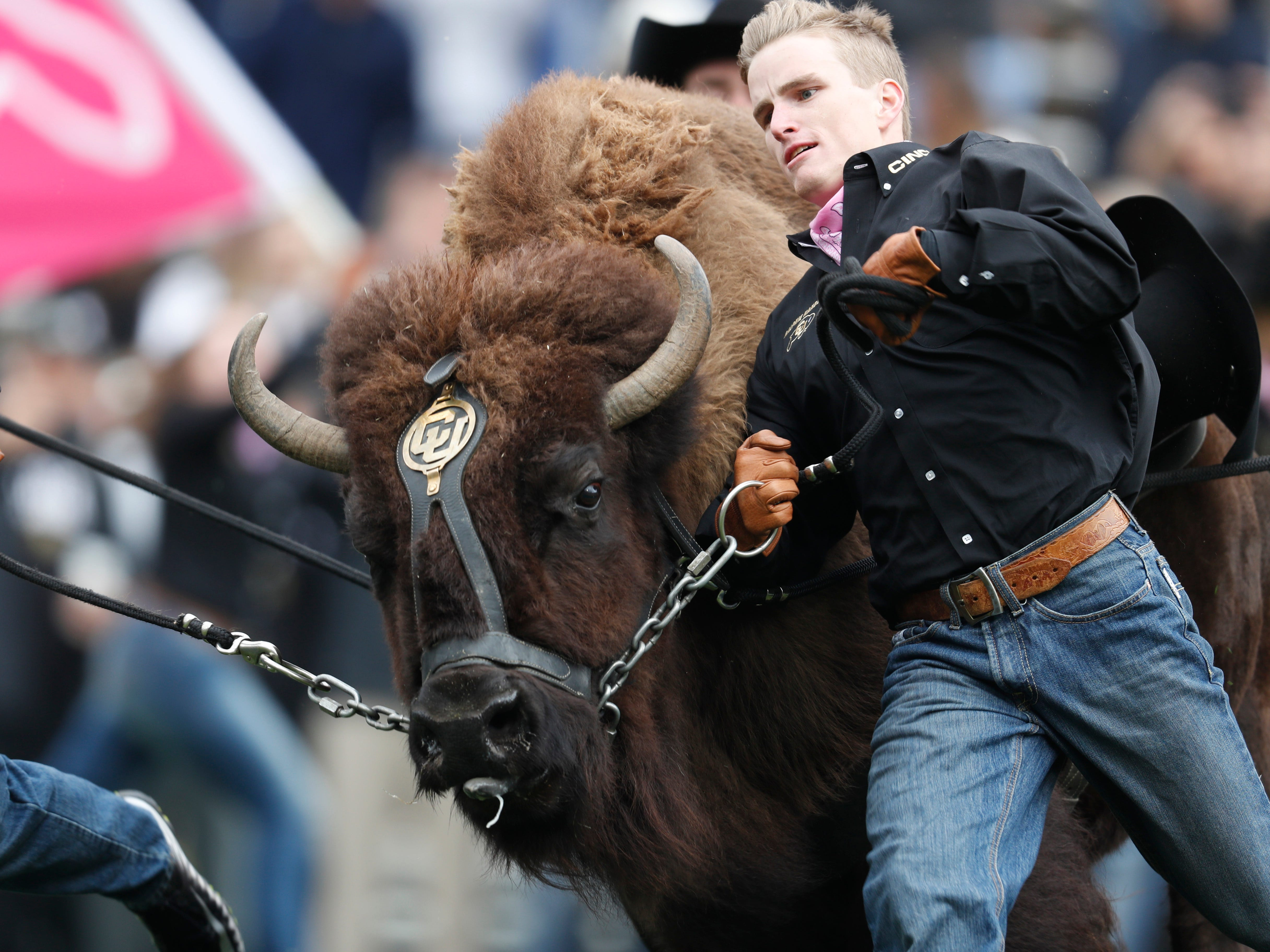 You wouldn't want to get in front of Colorado's mascot when Ralphie rumblin'.