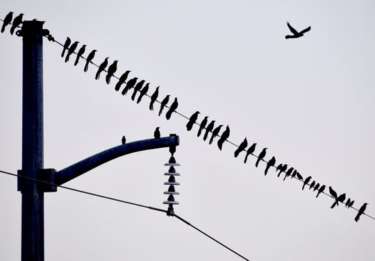 Grackles gather on utility wires Thursday on the north side of the Winters Freeway opposite the Mall of Abilene.