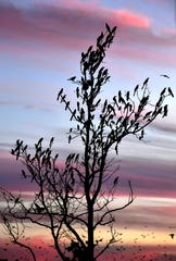 Reminiscent of holiday decorations, grackles sit in a tree on the Mall of Abilene's west side as the sun sets Thursday.