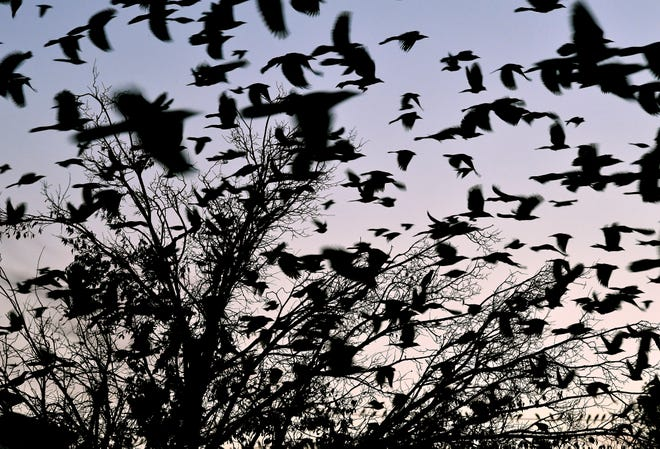 Grackles swarm past a tree on the west side of the Mall of Abilene Thursday evening. The birds for years have flocked to the area at twilight, particularly in the fall.
