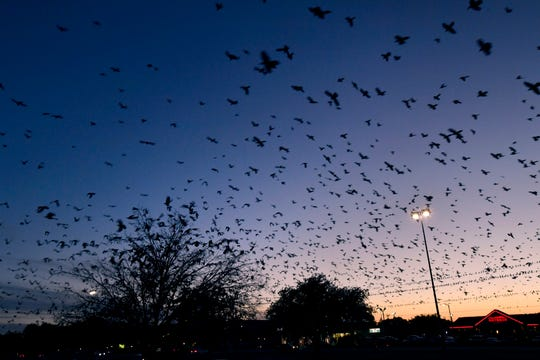 Grackles cover the sky as the sun sets behind the horizon Thursday on the west side of the Mall of Abilene.
