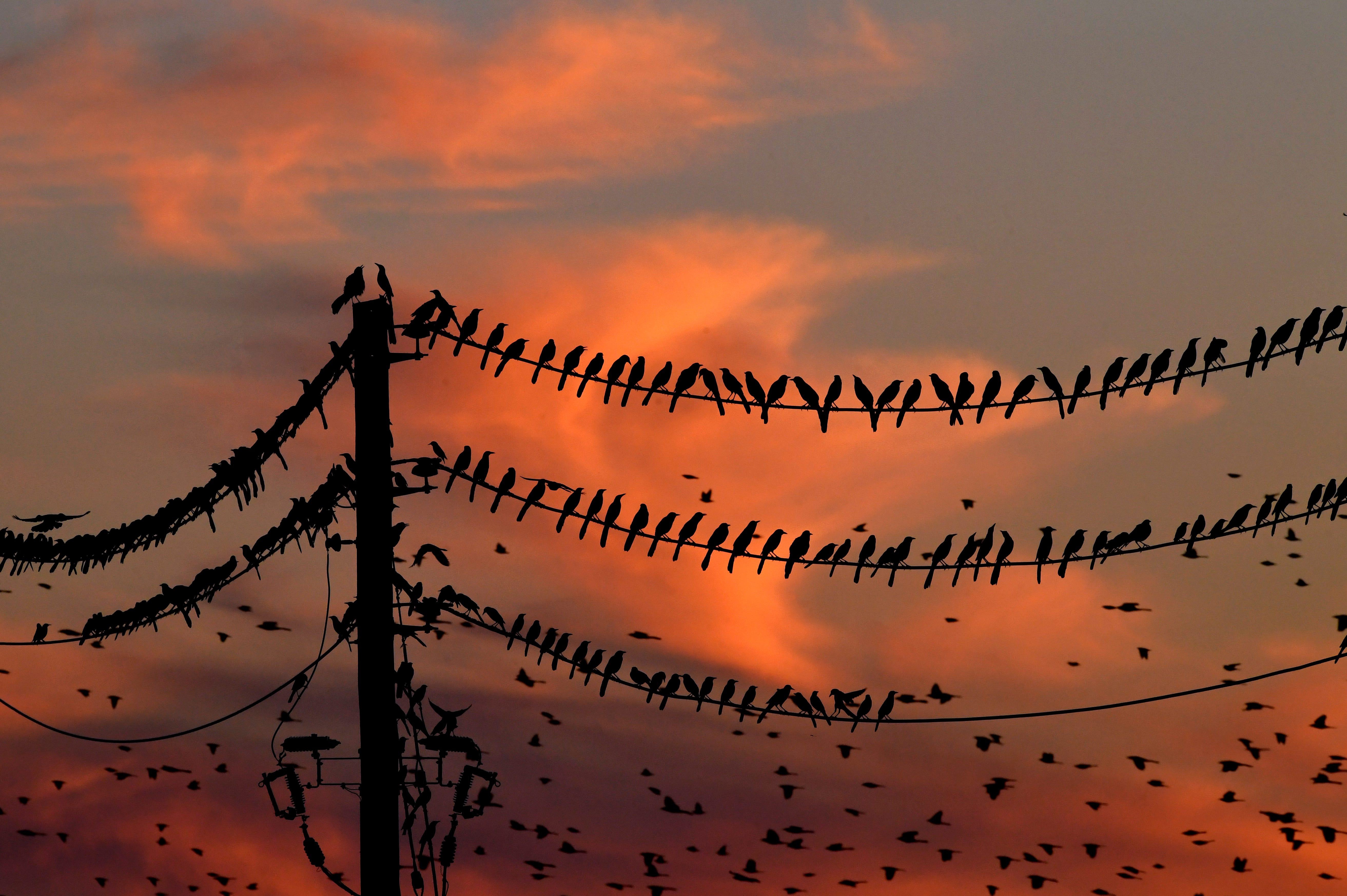 As the sun sets Thursday, grackles flock and cackle in the skies over the western side of the Mall of Abilene.