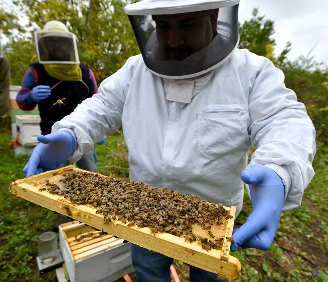 Marine Corps veteran Tom Kusar holds a frame removed from a hive box covered with honey bees. Kusar is being coached by Adam Ingrao (in background), who runs Heroes to Hives, a program that uses beekeeping as a therapeutic and entrepreneurial tool for returning veterans.