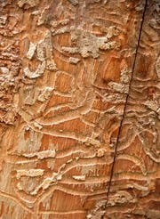 FILE - The trunk of a dead ash tree shows canker-like scarring from invasive Emeral Ash Borer, Wednesday, Aug 23, 2017. The Emerald Ash Borer burrows under the bark and kills the tree.