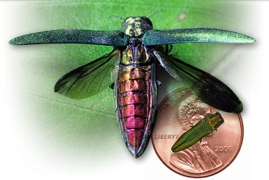 Emerald Ash Borer, with size compared to a penny.  (photo illustration)