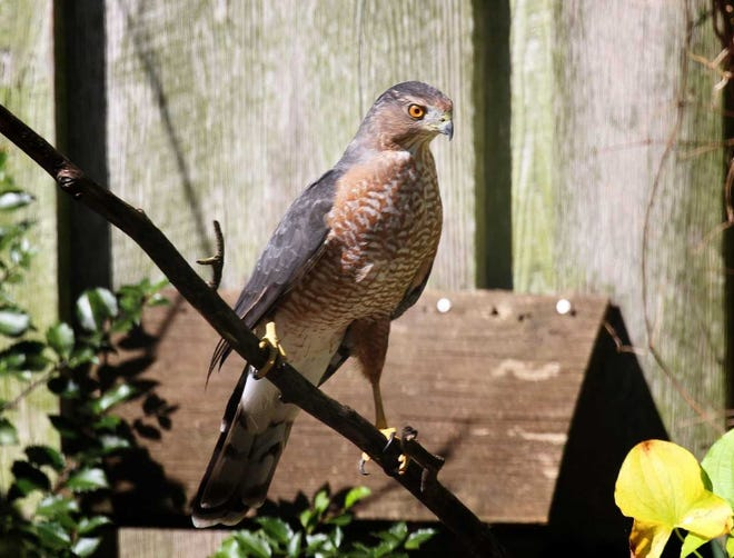An adult Cooper's hawk, the most common of the backyard terrors, watches for an opportunity to snag a songbird.