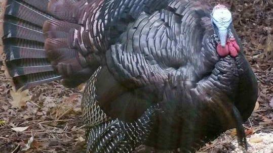 Meet Smoke, the unofficial mayor of Ashwaubenon, Wisconsin. And yes, he's a turkey