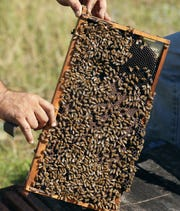 In this Friday Oct. 12, 2018 photo, Justin Sours looks at bees in a hive after a tree was knocked down by winds from Hurricane Michael in Wewahitchka, Fla. Michael's devastation could threaten the tupelo honey production in the tiny community that is the main source of the sweet delicacy.
