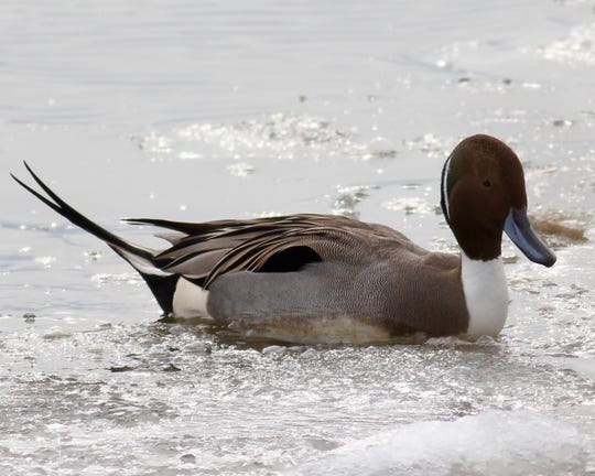 If you're lucky, you might see a northern pintail at Mehrhof this winter.