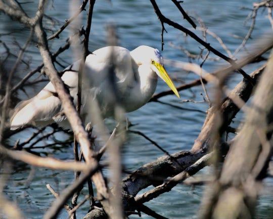Great Egret at Mehrhof Pond.