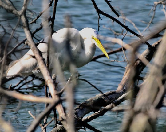 Great Egret at Mehrhof Pond.
