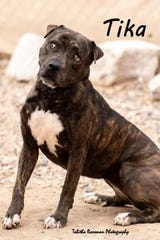 Tika is one of several pit bulls available for adoption at ACTion Programs for Animals.