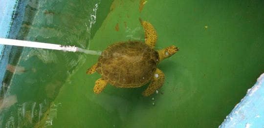 Gulf Specimen Marine Lab repaired the turtle tanks after Hurricane Michael.