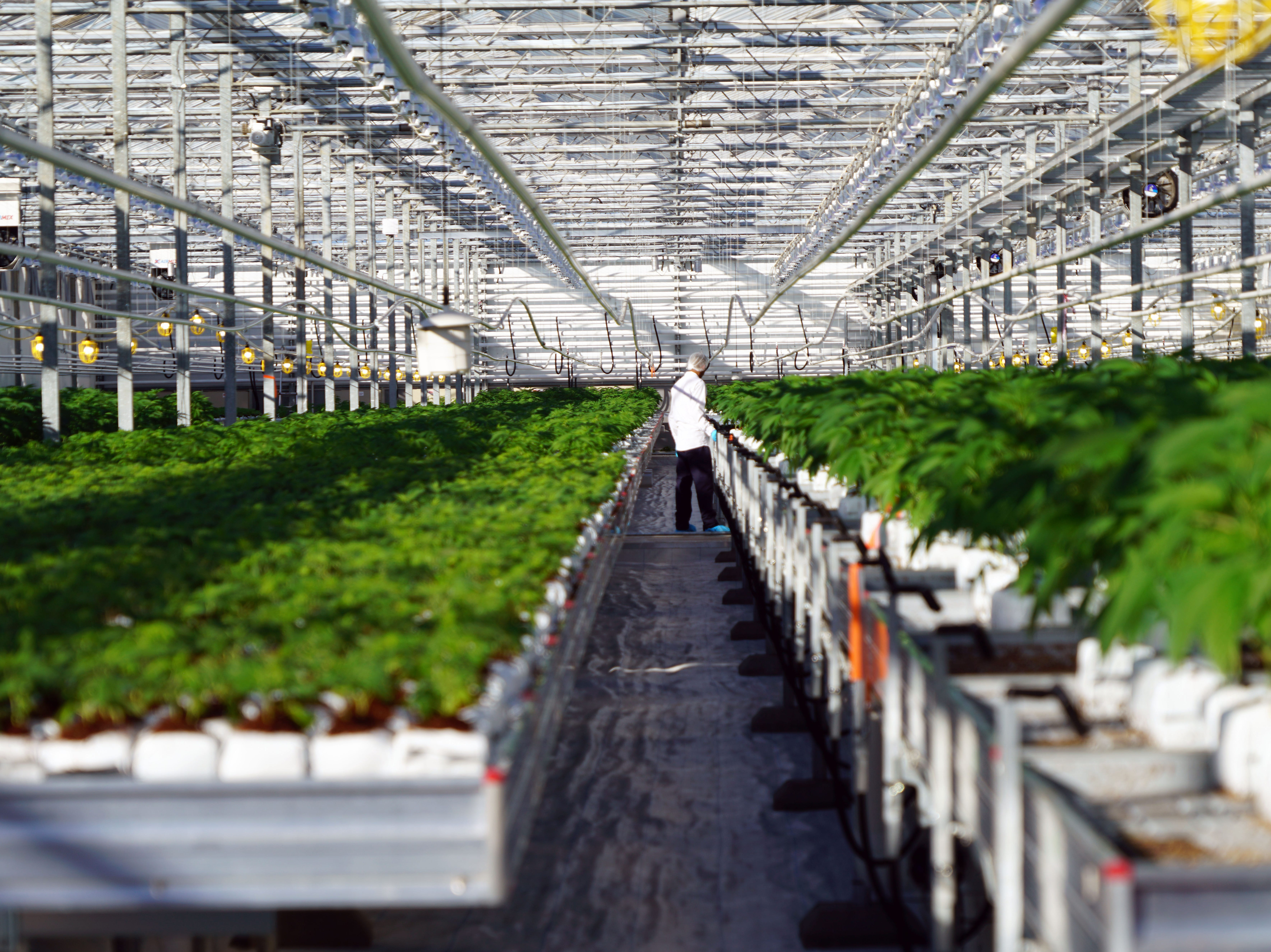 Future of legal marijuana: Canadian greenhouses could mean cheaper, safer pot