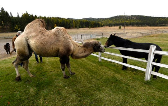 In this Wednesday, Oct. 10, 2018 photo, Carlos and one of the ranch's mules greet each other over a fence at the Spring Brook Ranch in Kalispell, Mont. Carol Bibler, who along with her husband Jim Watson owns the ranch, said that when Carlos first arrived, the horses and mules were terrified and ran to the far side of the paddock. (TomBauer/The Missoulian via AP)