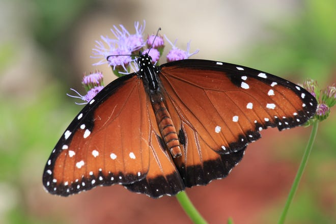 The Queen butterfly is a smaller, less colorful cousin to the Monarch butterfly.
