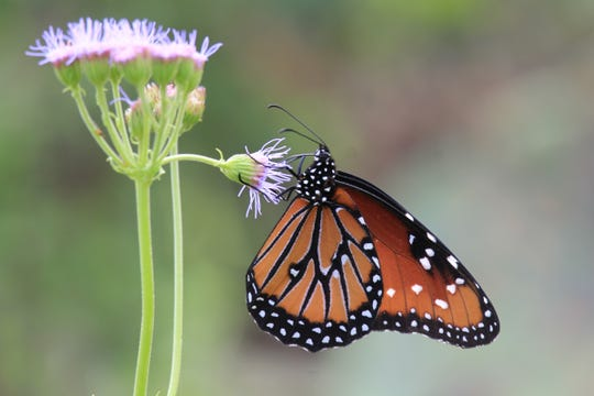 The Queen butterfly feeds almost exclusively on the flowers of most milkweed species.